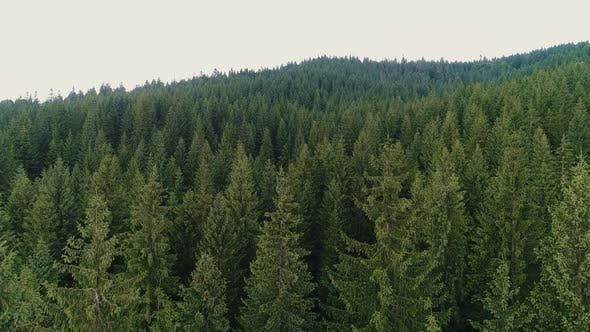 Thumbnail for Top View of Coniferous Forest