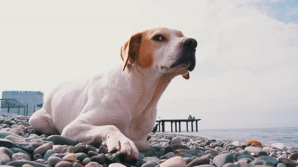 Thumbnail for Homeless Hungry Dog Preys on Pigeons and Lies on a Stone Shore of the Sea, Wild, Unhappy Stray Dog