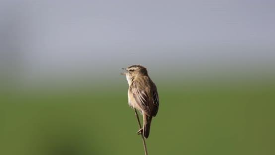 Thumbnail for Small song bird Sedge warbler, Europe wildlife
