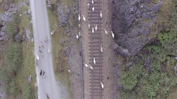 Animals Walking Along a Railway Track Endangering Oncoming Trains
