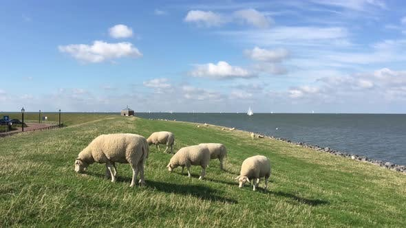 Thumbnail for Sheeps eating grass on a dike