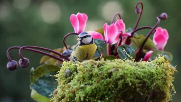 Thumbnail for Blue Tit bird near cyclamen flowers