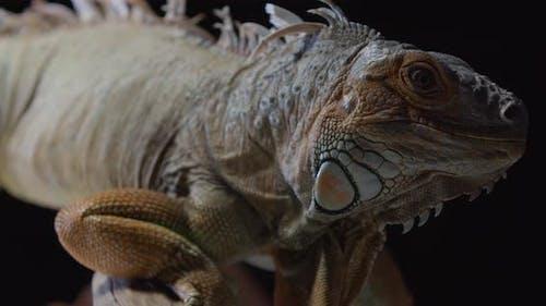 Close Up of a Massive Iguana Wildlife Huge Lizard Animals