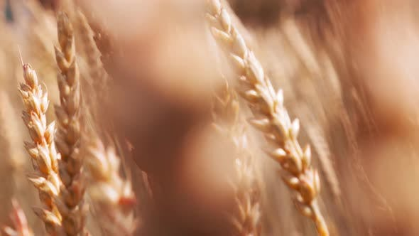 Thumbnail for Nature Scene Gold Wheat Stalks on the Farmland