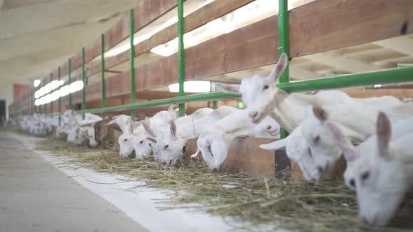 Thumbnail for Goats Are Standing Behind a Fence of a Farm