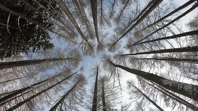Winter forest in the mountains a blue sky background. Snowy wood captured with Fish-Eye lens.