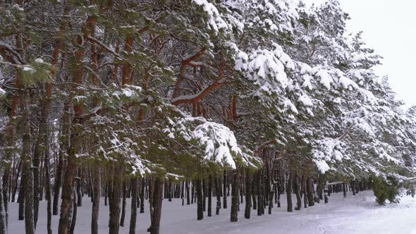 Thumbnail for Winter Pine Forest with Snow-covered Branches Christmas Trees