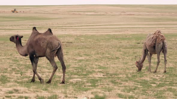 Wild Camels Free-Roaming Freely in Barren Steppes of Central Asia