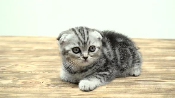 Folded Toddler Kitten Scottish Fold Is Played Looking Up. White Background