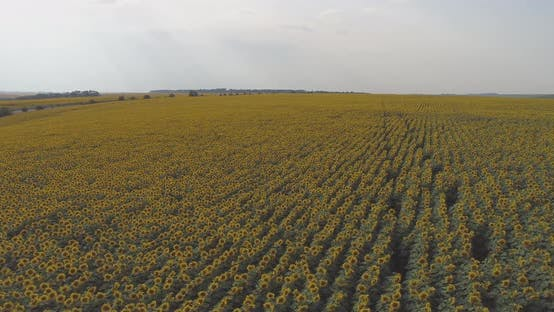 Thumbnail for Aerial view of a sunflower field