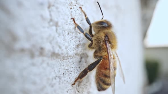 Honey bee on a wall as it rests in macro view