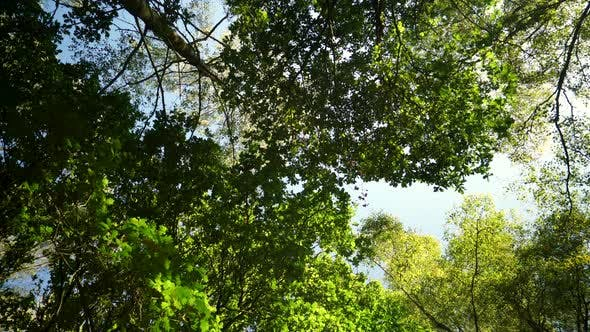 Thumbnail for looking up into a summer forest
