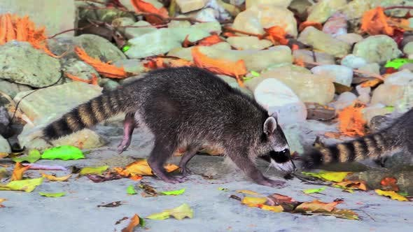 Cover Image for Raccoons walking in slow motion