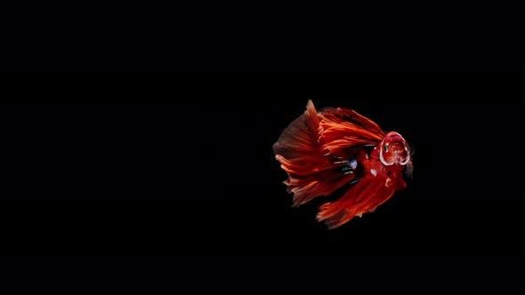 Colorful Siamese Fighting Fish Betta Splendens 10