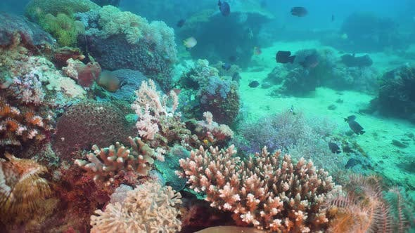 Cover Image for Coral Reef and Tropical Fish. Philippines, Mindoro
