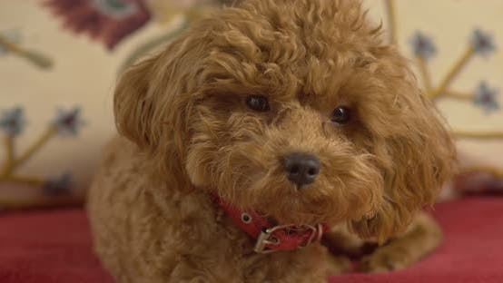 Thumbnail for A dog, a poodle breed, sits on a couch and looks