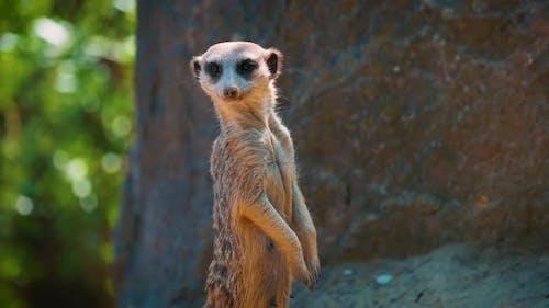 Closeup View of Meerkat Standing and Looking Around
