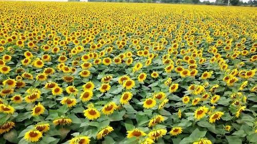 Light wind is shaking beautiful sunflowers on the field.