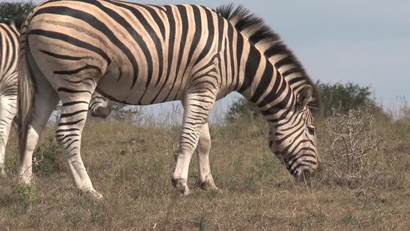 Thumbnail for Pair of zebras grazing on the savanna