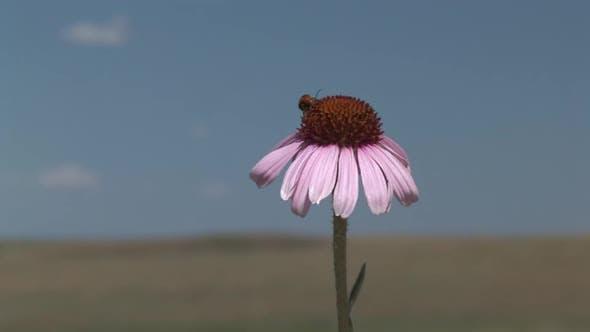 Purple Coneflower Lone Flower Flowering in Summer Nectar Pollinator