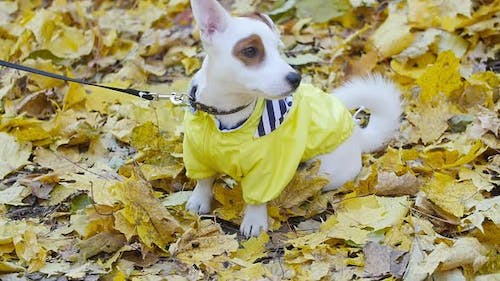 Cute Dog Jack Russell Outdoors