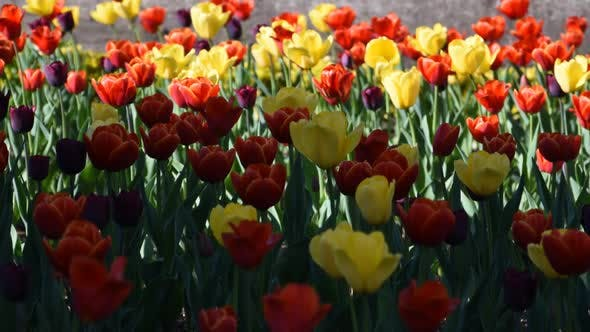 Cover Image for Spring Tulips
