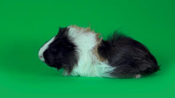 Thumbnail for Fluffy Sheltie Guinea Pig at Green Background in Studio