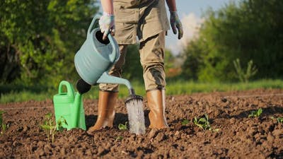A Farmer Waters the Planted Seedlings From a Watering Can