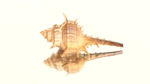 Prickly Sea Shell on White, Rotation, Reflection