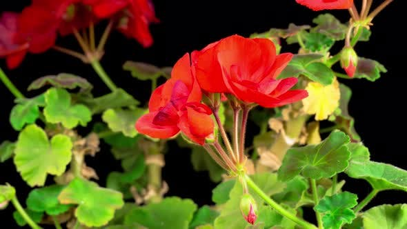 Cover Image for Beautiful Time Lapse of Blooming Red Geranium