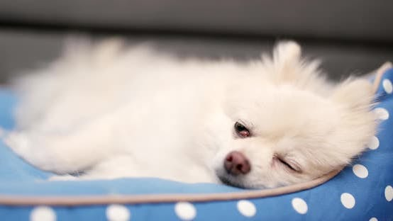 Thumbnail for Pomeranian dog sleep on bed at home