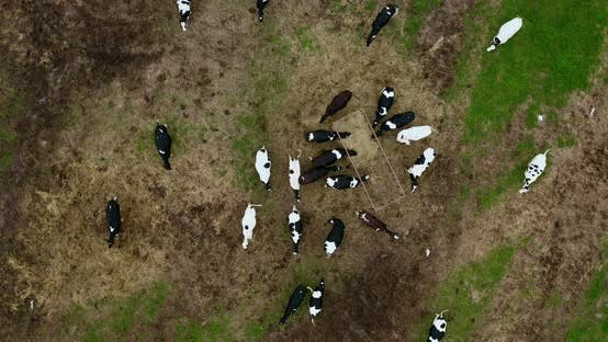 Thumbnail for Taken from a drone a large herd of cows in a paddock.