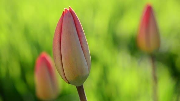 Thumbnail for Tulips in the Spring 2
