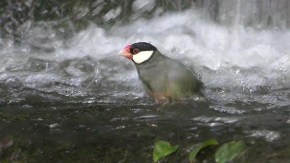 Thumbnail for Java Sparrow Adult Lone Bathing Splashing Waterfall