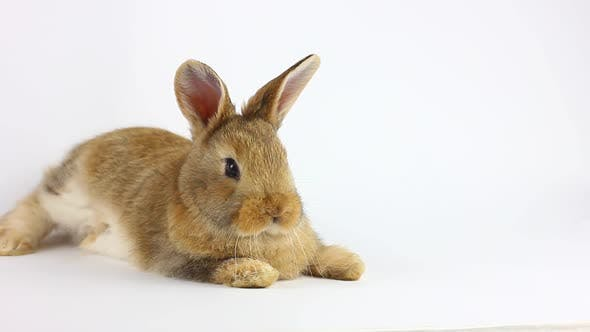 Small Fluffy Handmade Domestic Brown Rabbit Lies on a White Background