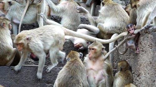 Monkeys At An Ancient Ruin