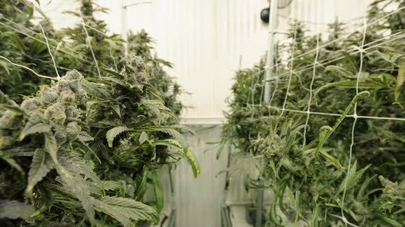 Cover Image for Wide Wangle Walk Through Rows Of Marijuana Plant Buds At Indoor Facility