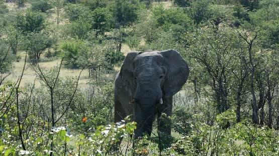 Majestic African Elephant in Etosha Namibia Africa safari wildlife