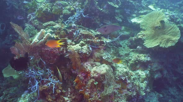 Thumbnail for Coral Reef and Tropical Fish, Bali, Indonesia