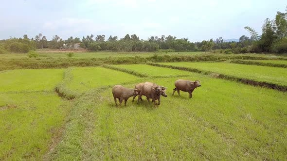 Thumbnail for Buffaloes on Rice Field Go To and Look at Drone with Interest