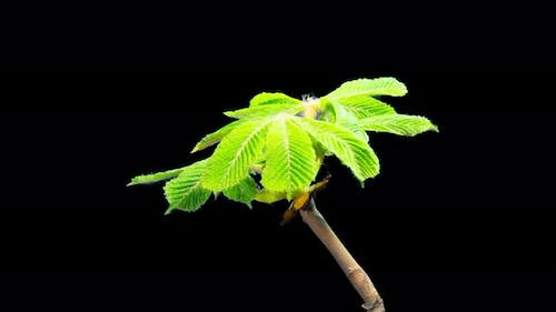 Chestnut blossom, time-lapse with alpha channel