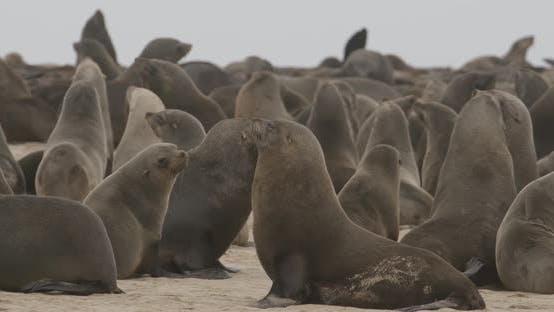 Crowded Fur Seal Colony