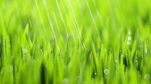 Fresh Green Grass with Rain Drops Field of Young Wheat Rye Closeup Nature Macro