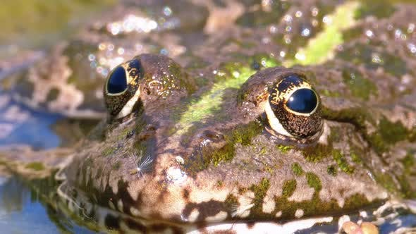 Thumbnail for Green Frog in the River. Close-Up. Macro Portrait Face of Toad in Water with Water Plants