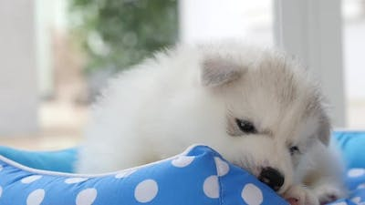 Cute Siberian Husky Puppies Playing In Pet Bed