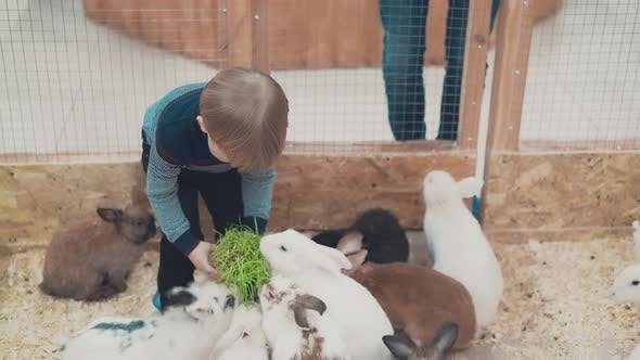 Little Child Feeds Rabbits with Grass