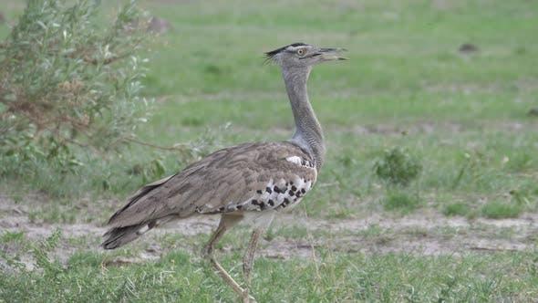 Thumbnail for Kori bustard the largest flying bird native to Africa walking around