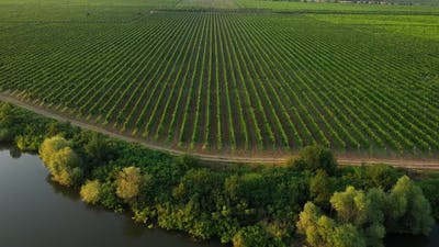Aerial view to a rows from vineyards