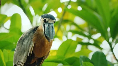 Boat Billed Heron Sitting in the Branches of a Tree