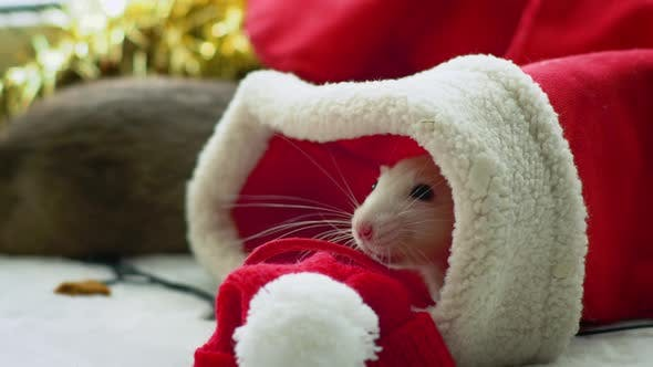 Thumbnail for White rat in christmas stocking